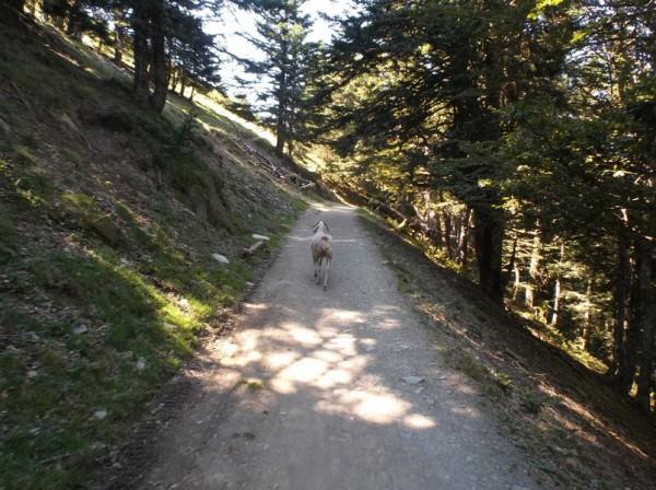 La brebis a pris peur et plutôt que de s'enfuir à droite, a préféré courir sur le chemin.
