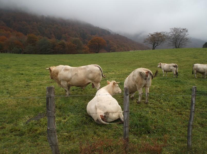 Un taureau basque^^