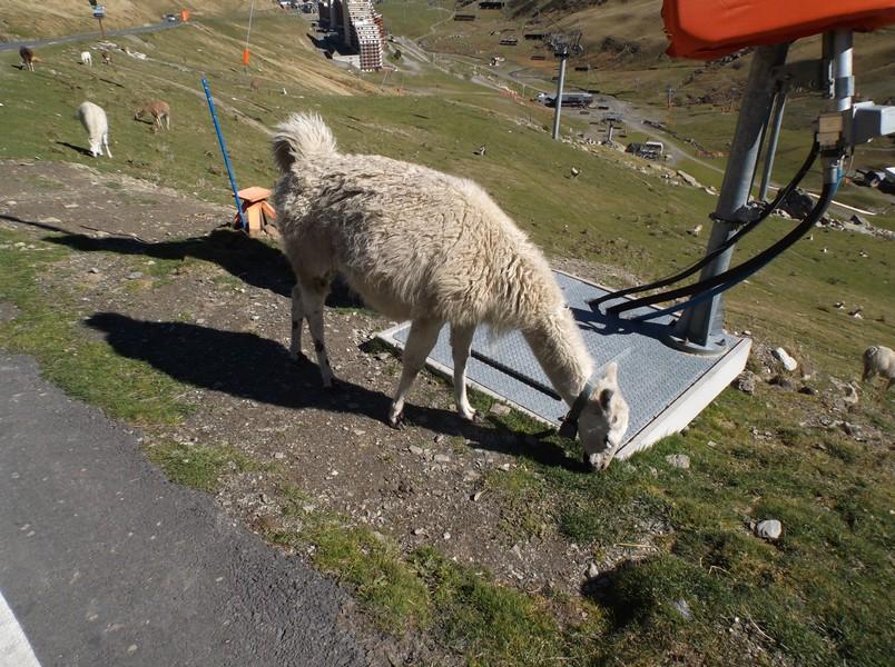 Les lamas étaient juste à la sortie de La Mongie aujourd'hui.